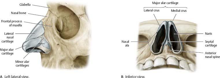Nasal Cavity Nose Atlas Of Anatomy