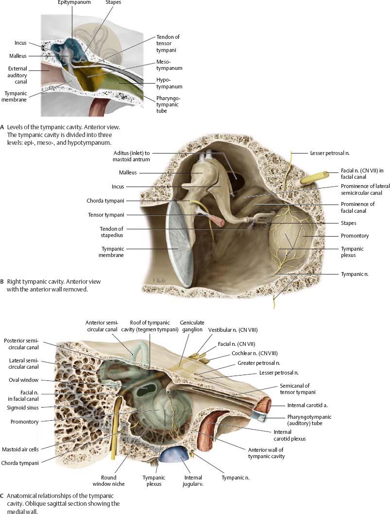 Temporal Bone & Ear - Atlas of Anatomy