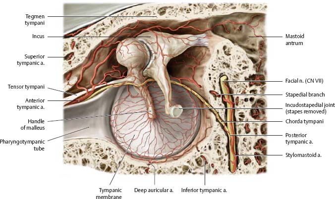 Temporal Bone Ear Atlas Of Anatomy