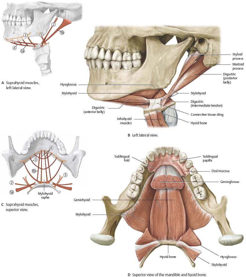 Oral cavity pharynx atlas of anatomy for Floor of mouth anatomy