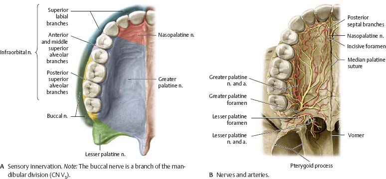 Anatomy of hard palate