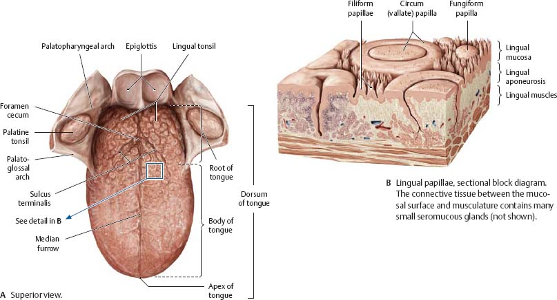 Oral Cavity & Pharynx - Atlas of Anatomy