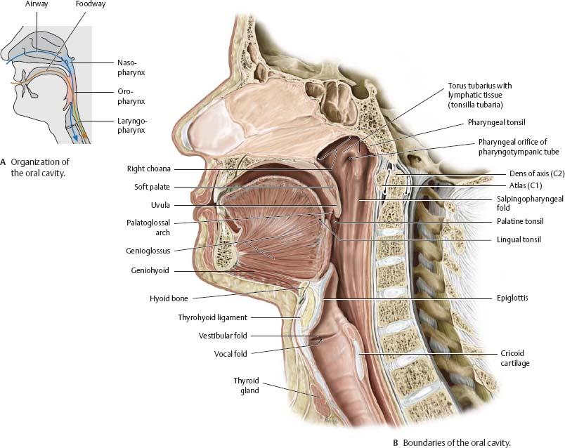oral cavity & pharynx - atlas of anatomy, Cephalic Vein