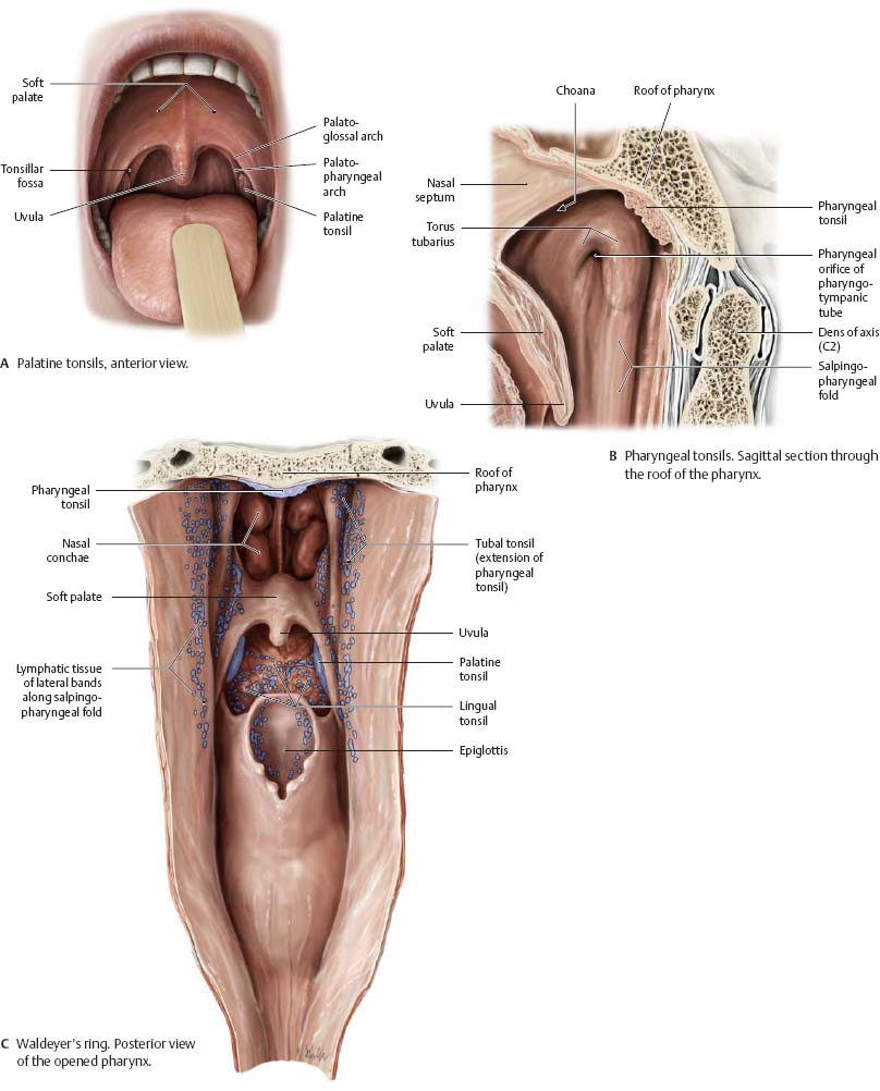 Oral Cavity & Pharynx - Atlas of Anatomy