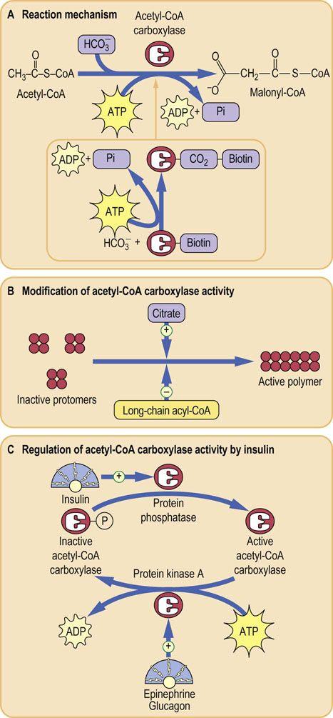 Biosynthesis And Storage Of Fatty Acids