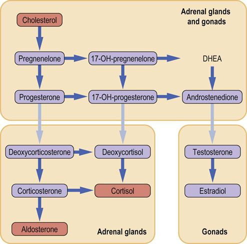 major pathway of steroid hormones biosynthesis