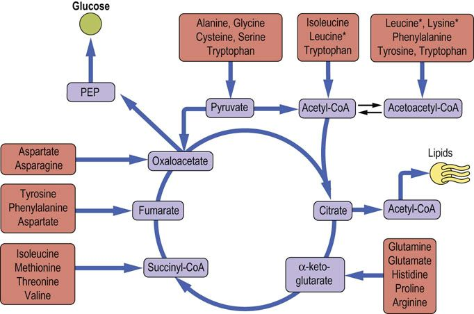 Biosynthesis and Degradation of Amino Acids - Medical Biochemistry