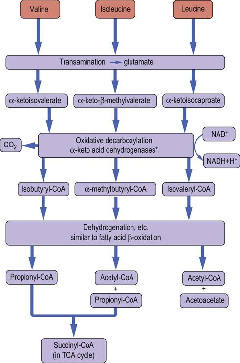 Biosynthesis and Degradation of Amino Acids - Medical ...