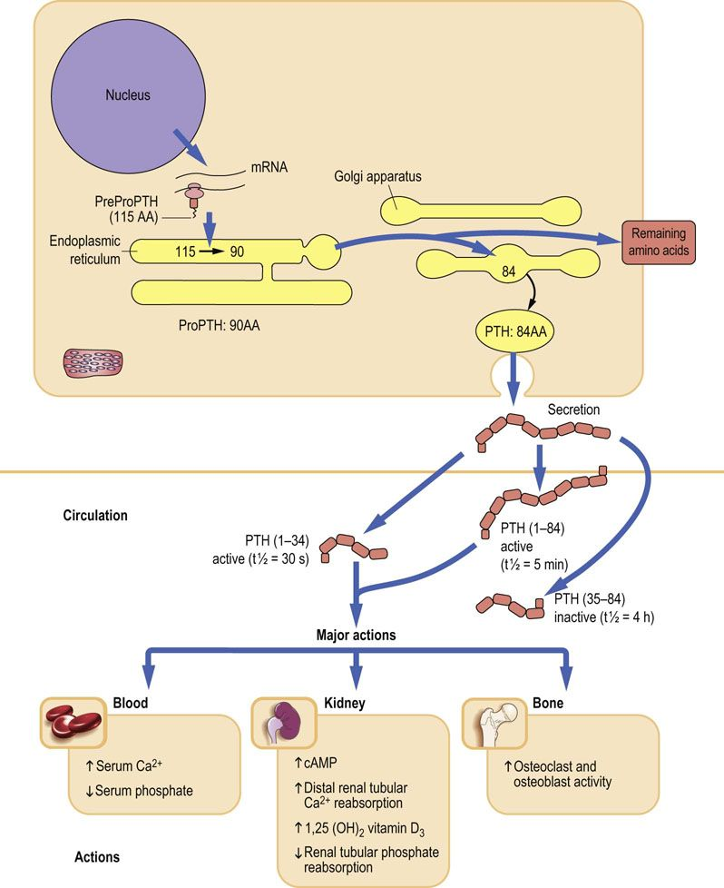 Bone Metabolism And Calcium Homeostasis