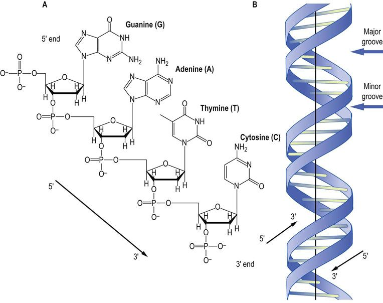Images of deoxyribose diagram spacehero dna structure deoxyribose 34300 notefolio ccuart Images