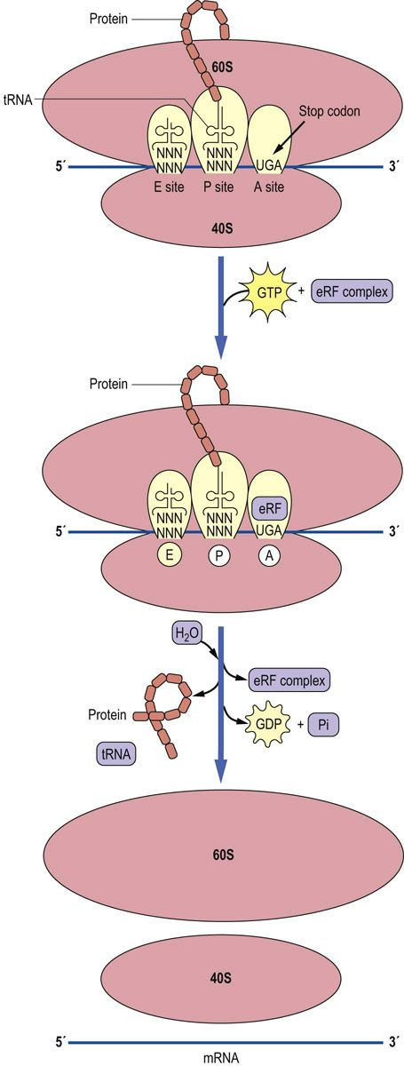 in protein sythesis Protein biosynthesis (synthesis) is the process in which cells build proteins the term is sometimes used to refer only to protein translation but more often it.