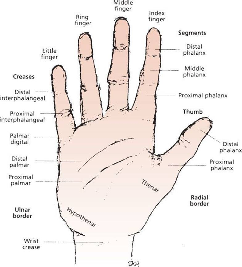 Hand Injuries - Trauma - Harwood-Nuss\' Clinical Practice of ...