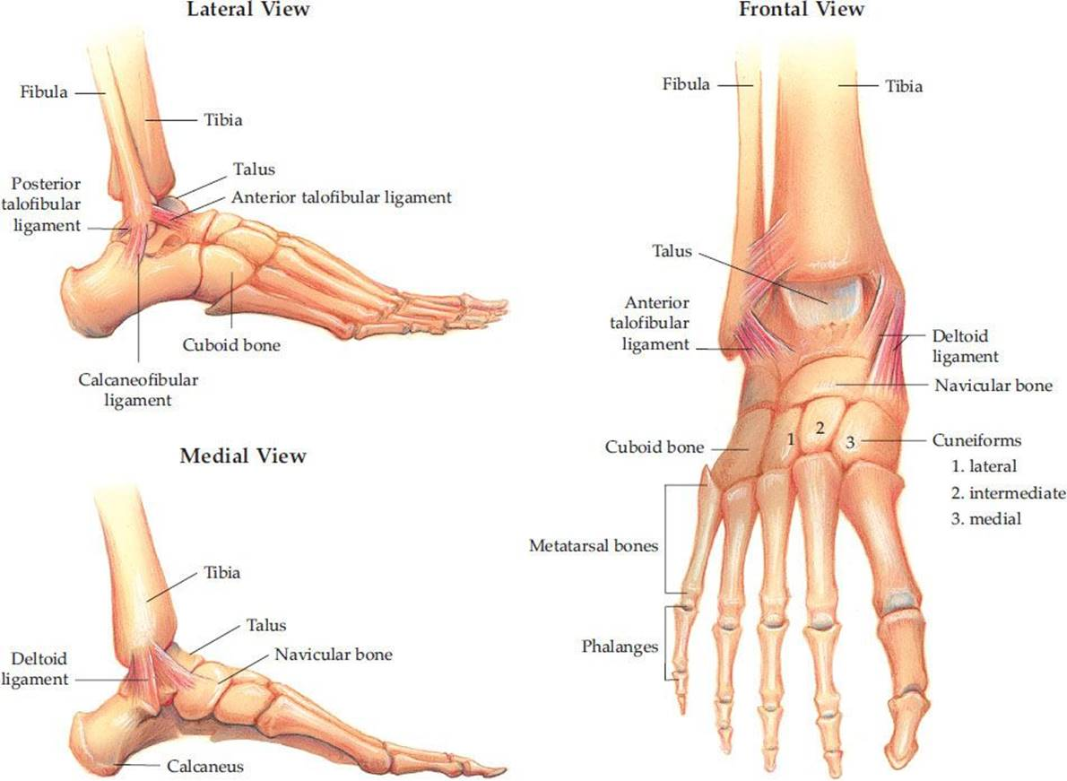 Ankle and Foot Injuries - Trauma - Harwood-Nuss\' Clinical Practice ...
