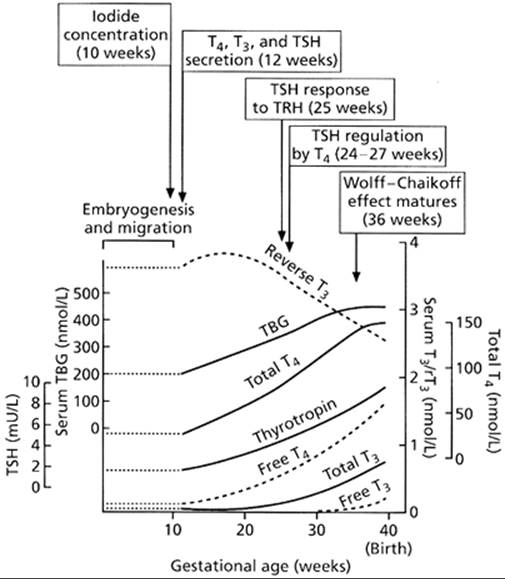 The Maturation Of Thyroid Function In The Perinatal Period
