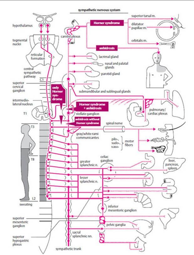 Diseases Of The Autonomic Nervous System Fundamentals Of Neurology