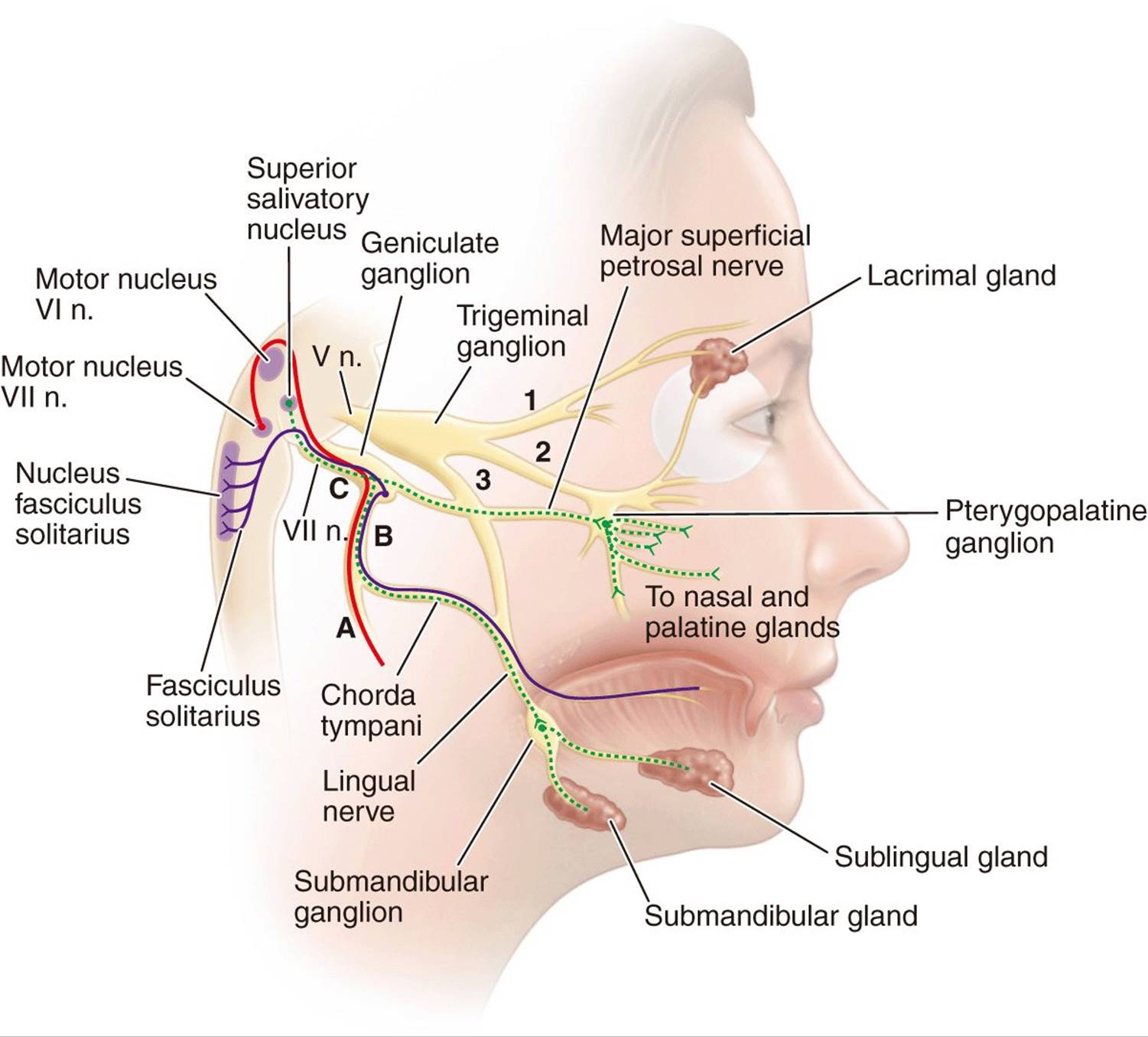 Trigeminal Neuralgia Bell S Palsy And Other Cranial Nerve Disorders Diseases Of The Nervous System Harrison S Neurology In Clinical Medicine 3rd Edition (stylomastoid foramen is third label from the bottom on the left.) trigeminal neuralgia bell s palsy and