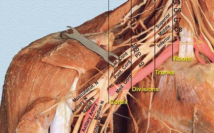 Anatomy Of The Brachial Plexus Peripheral Nerve Blocks A Color