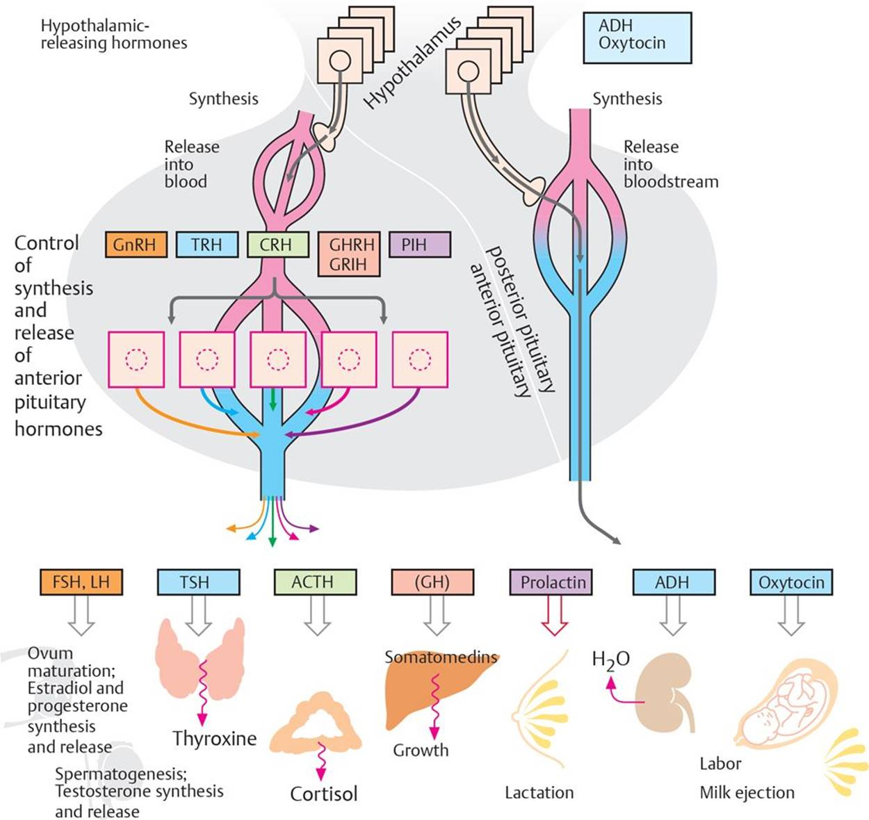 steroid hormones exert their effects on their target cells by