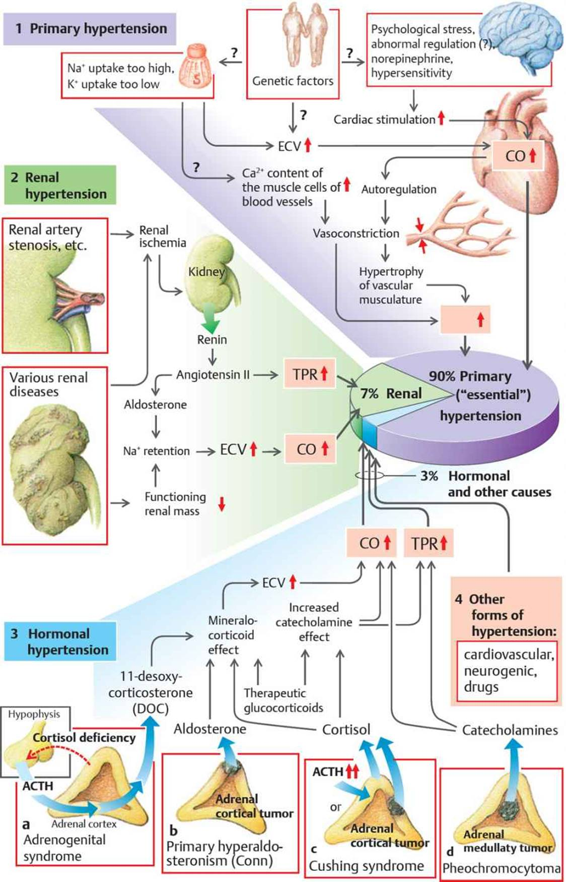 physiology and pharmacology of hypertension Historically, physiology and pharmacology have been closely allied it was through the discovery of whole organism physiology that the effects and mechanisms of drugs were studied for example, the physiological measurement of blood pressure allowed the development of antihypertensive drugs this close alliance is.