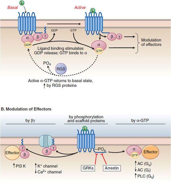 Pharmacodynamics: Molecular Mechanisms Of Drug Action