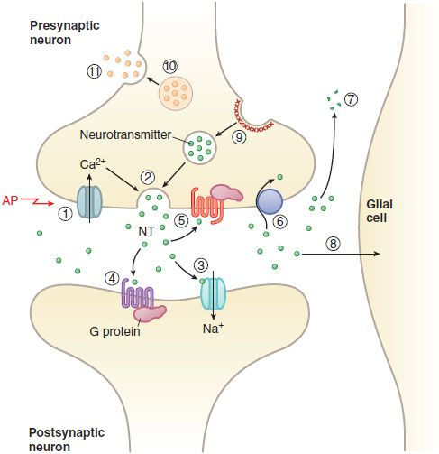 neurotransmitters and neuropharmacology The molecular neuropharmacology and signaling (mnps) study section reviews both hypothesis-driven and discovery-based applications on neurotransmitter and receptor signal transduction with a focus on neurochemical, neuroendocrine and molecular neuropharmacological mechanisms this includes studies .