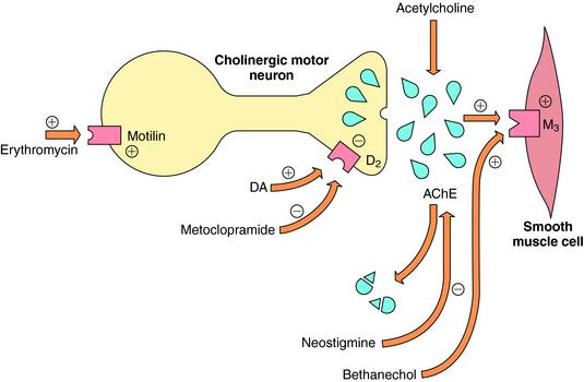 Receptors In Intestinal Muscle Biology Essay