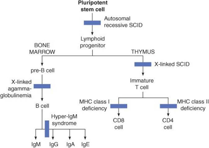 Immunity, Infection, and Inflammation - Cellular and