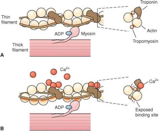 Excitable Tissue: Muscle - Cellular and Molecular Basis for