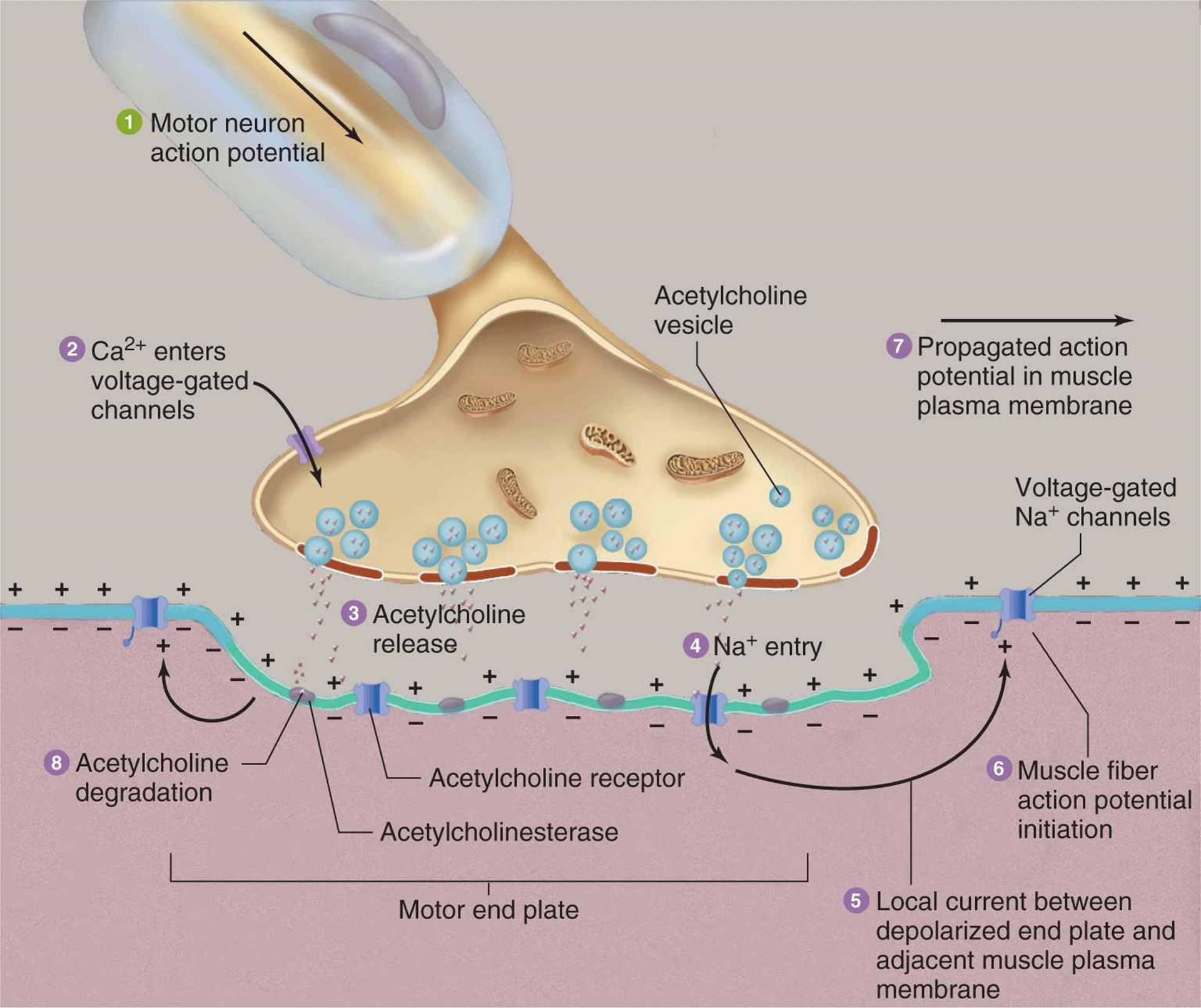 Synaptic and Junctional Transmission - Cellular and ...