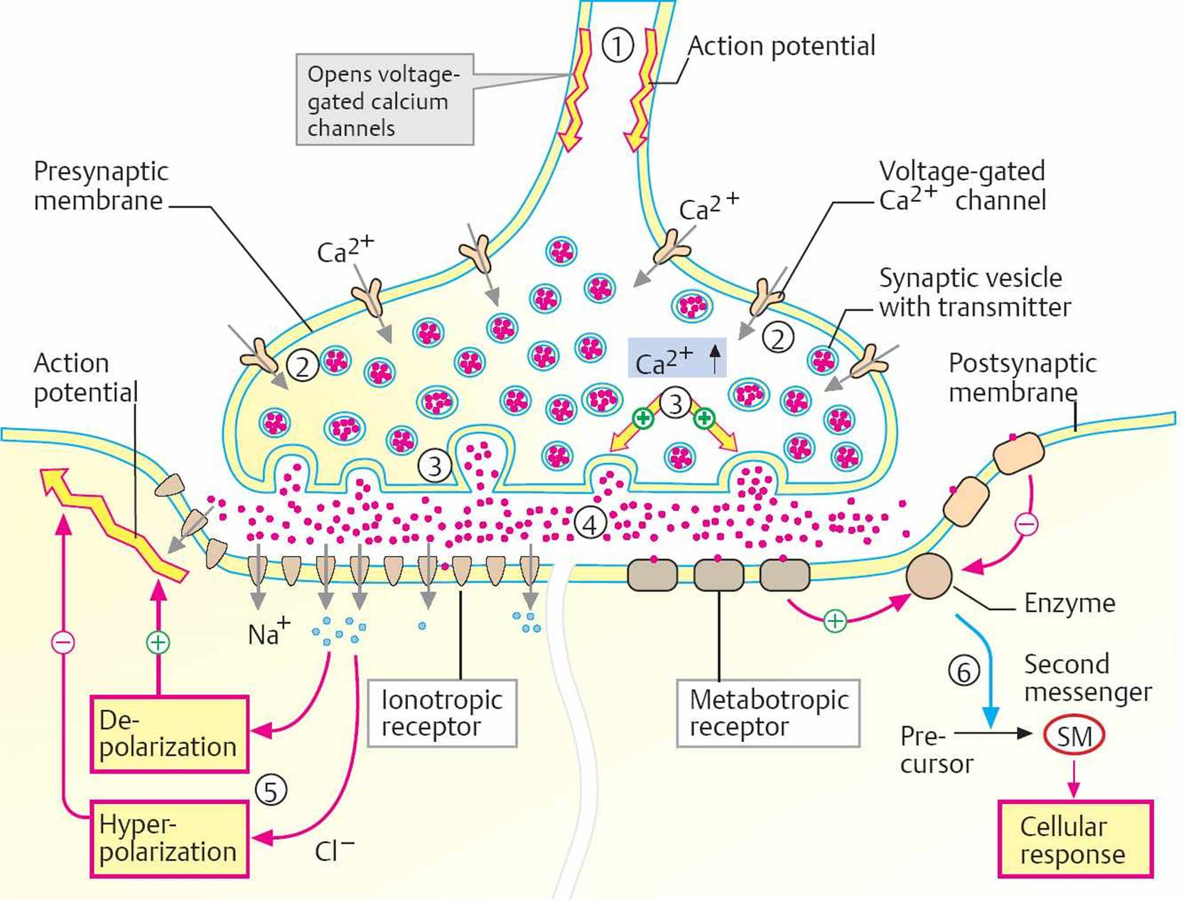 Neurotransmission  Physiology  An Illustrated Review