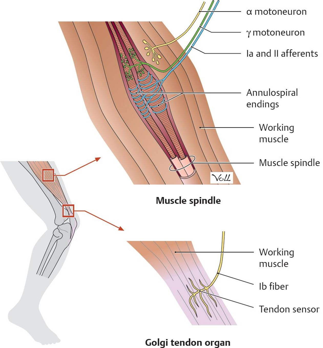 Motor Systems - Physiology - An Illustrated Review