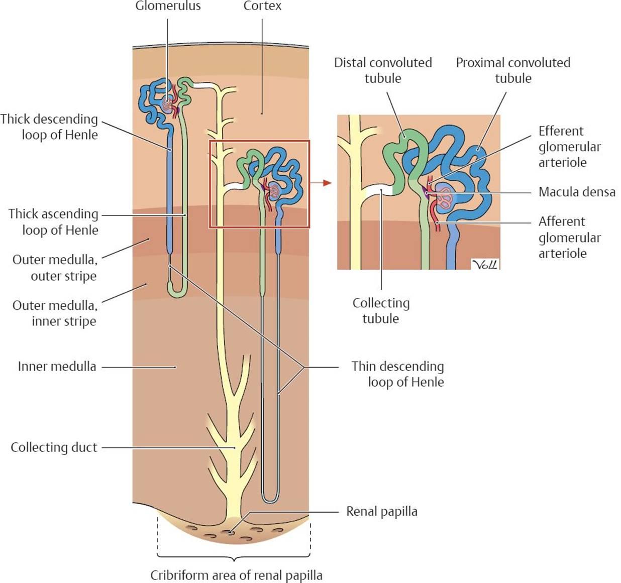 Renal Anatomy, Body Fluids, Glomerular Filtration, and Renal ...