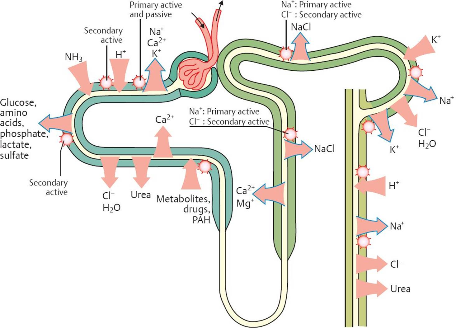 Renal tubular transport physiology an illustrated review image ccuart Choice Image