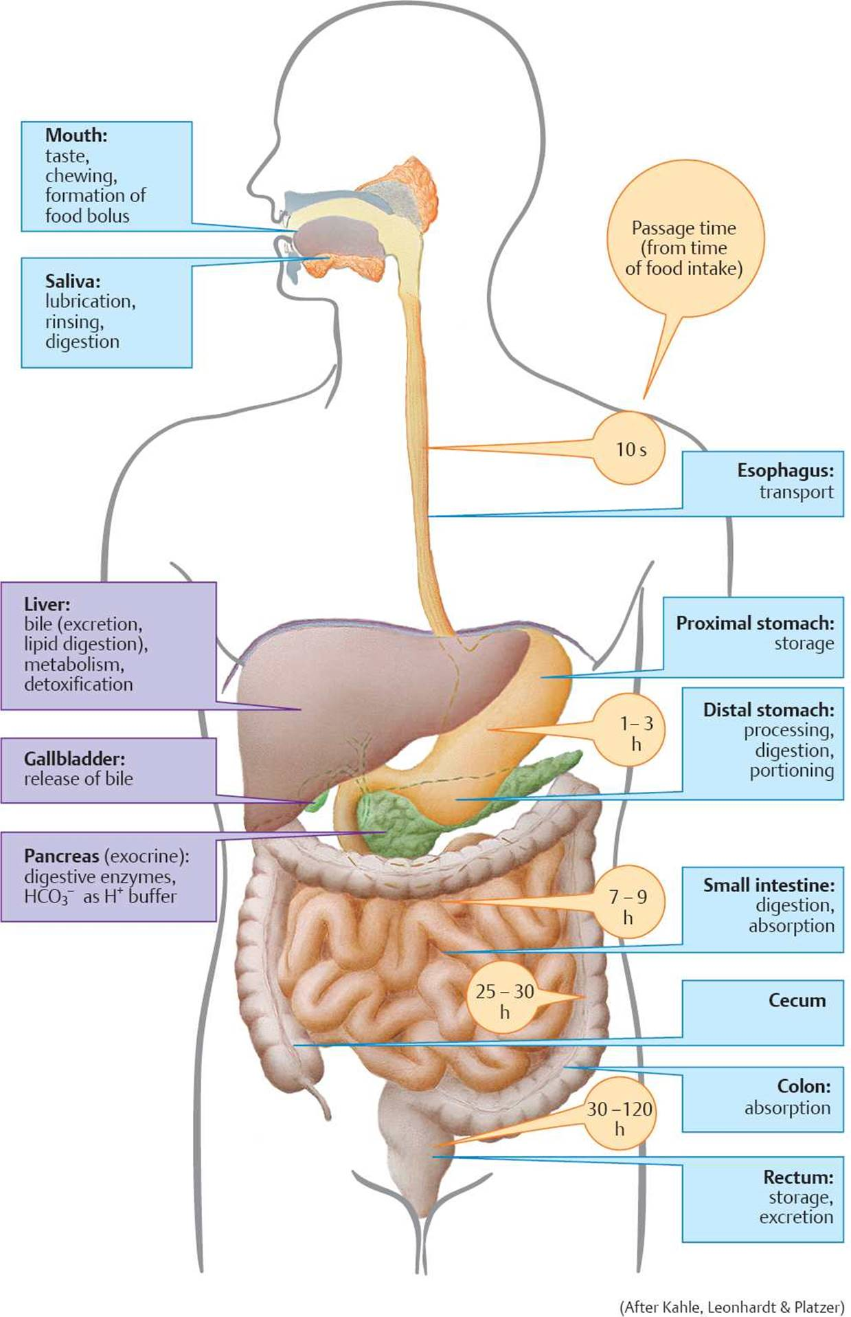 Structure and Regulation of the Gastrointestinal Tract - Physiology ...