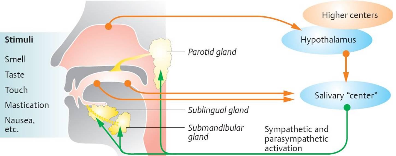 Sympathetic Block Diagram also Cerebellumluxolfastblue also Nervous System Unit Iii Stds as well Image additionally Nrgastro F. on sympathetic nervous system diagram