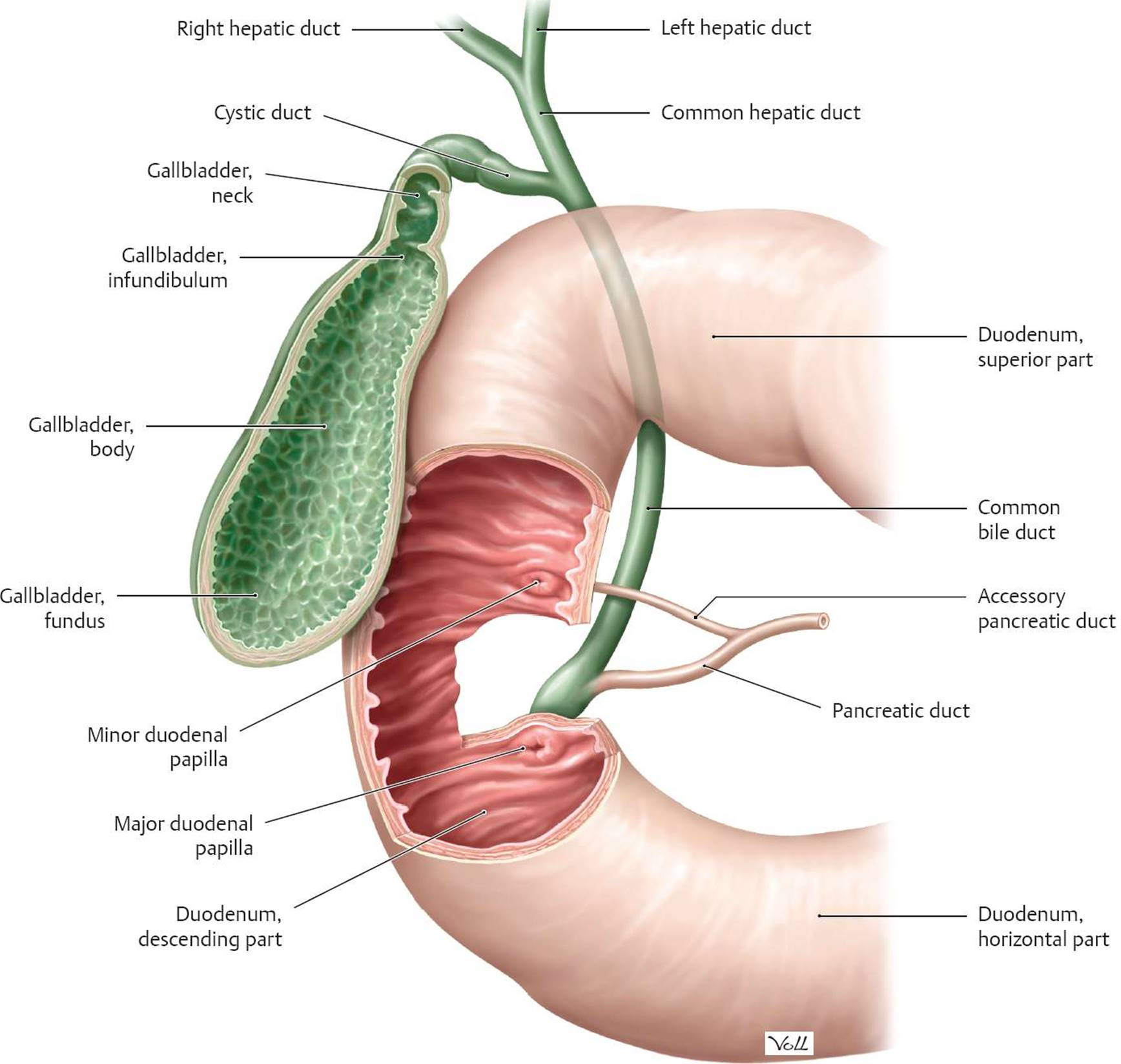 Gastrointestinal Secretion - Physiology - An Illustrated Review