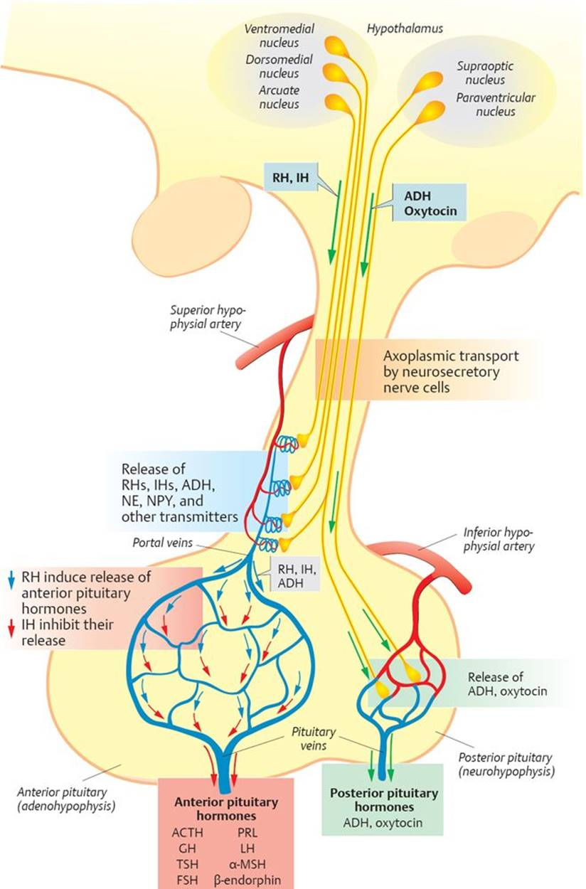 Lujoso Anatomy And Physiology Of Anterior Pituitary Gland Ideas ...