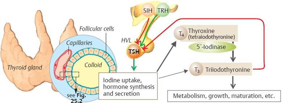 Thyroid Hormones Physiology An Illustrated Review