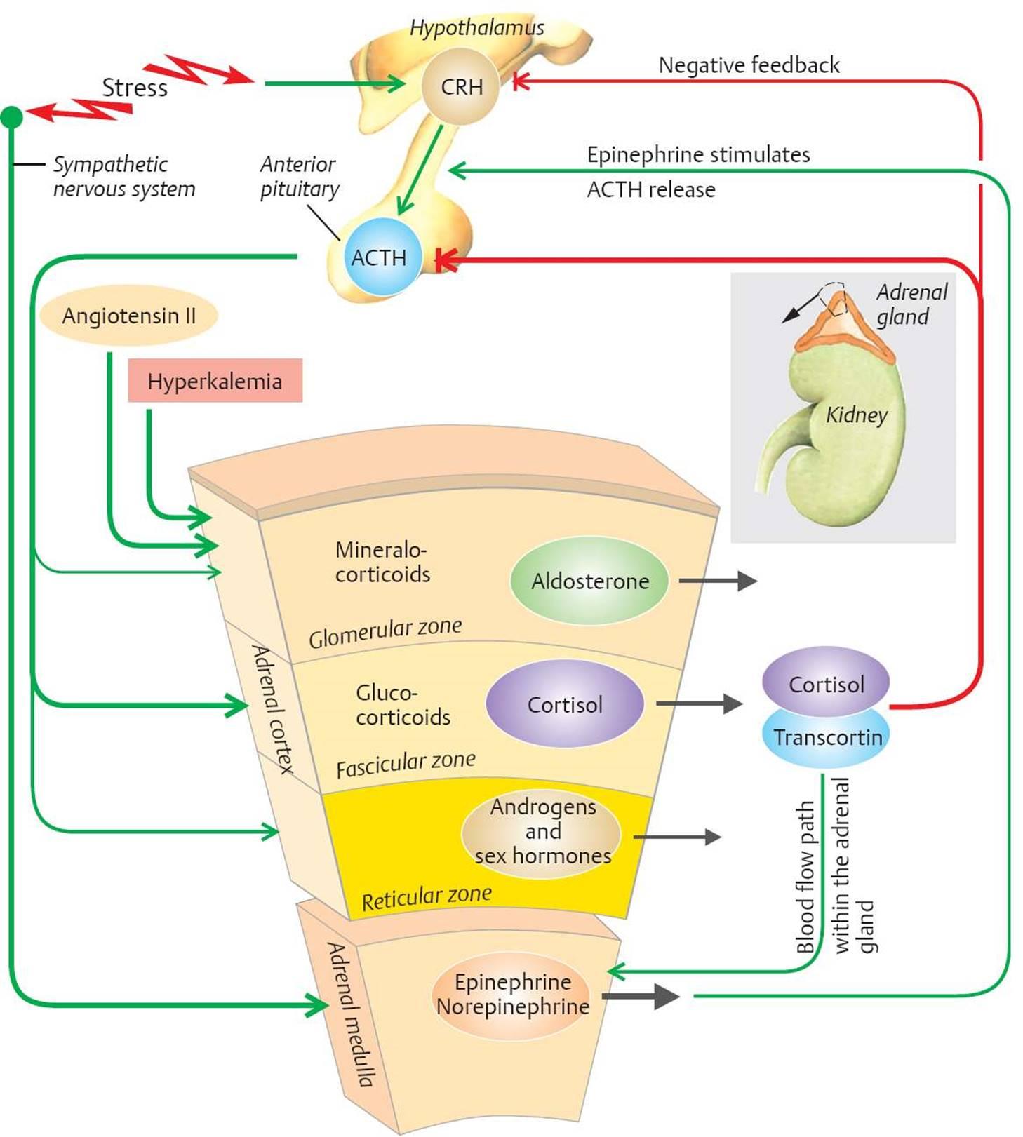 33 on adrenal gland hormones