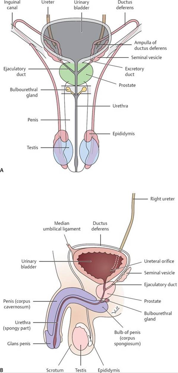 Differentiation, Puberty, And Male And Female Reproduction - Physiology - An -7770