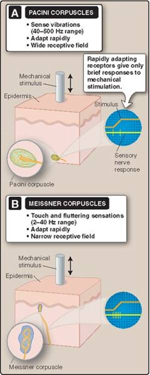 Skin - Lippincott Illustrated Reviews: Physiology ...