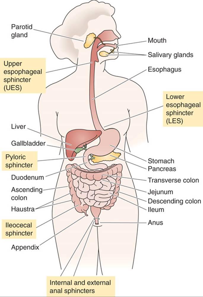 Organization Of The Gastrointestinal System