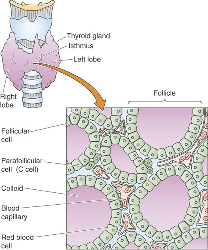 The Thyroid Gland The Endocrine System Medical Physiology 2e