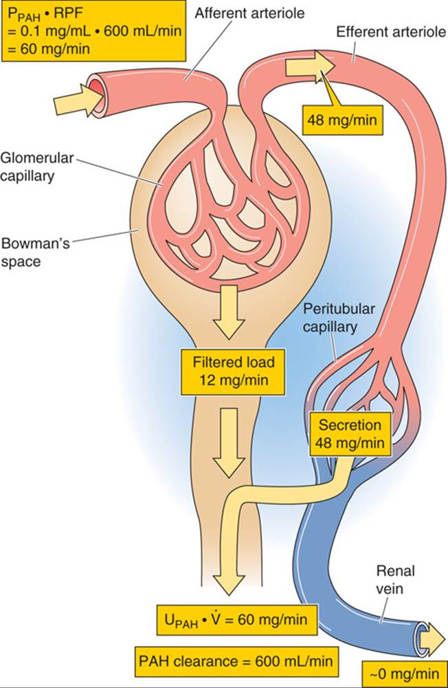 GLOMERULAR FILTRATION AND RENAL BLOOD FLOW - THE URINARY SYSTEM ...