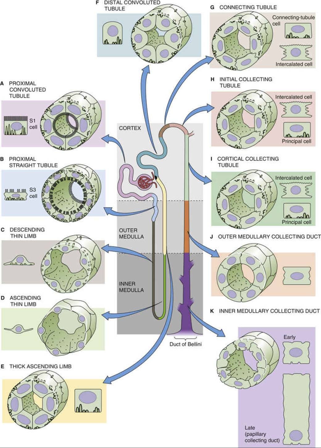 Functional Anatomy of the Kidney - Organization of the Urinary ...