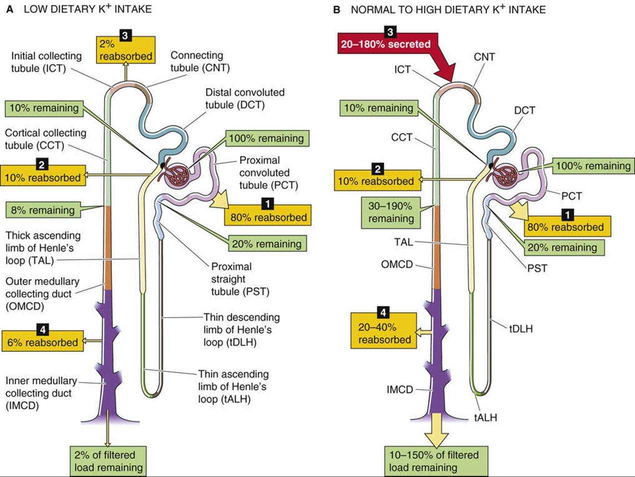 Potassium transport by different segments of the nephron figure 37 5 k handling along the nephron in a and b the numbered yellow boxes indicate the fraction of the filtered load that various nephron segments ccuart Choice Image