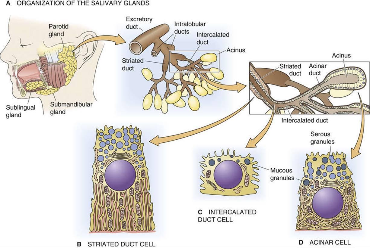 Salivary Acinar Cell - Pancreatic and Salivary Glands - The ...