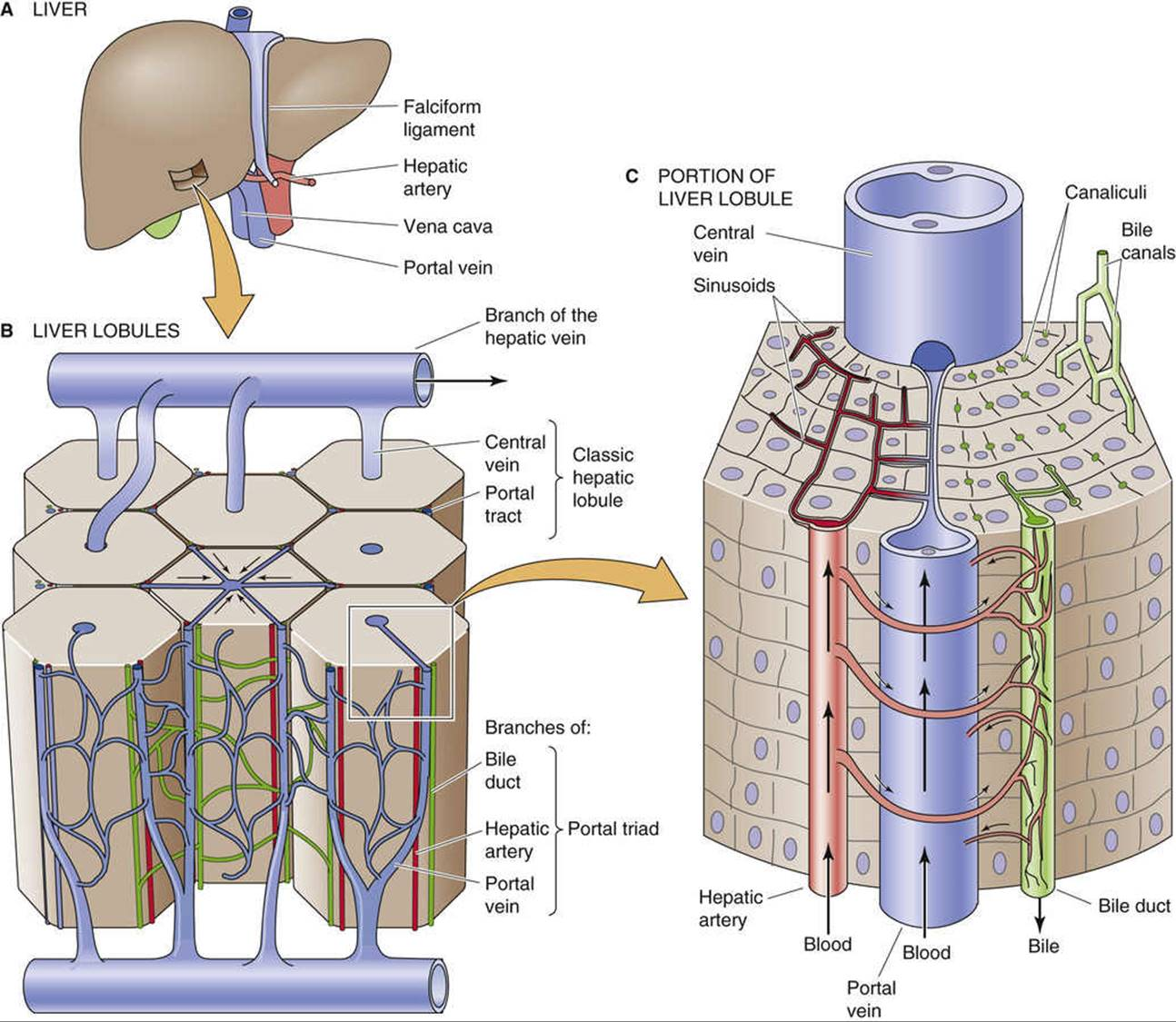 Functional Anatomy of the Liver and Biliary Tree - Hepatobiliary ...