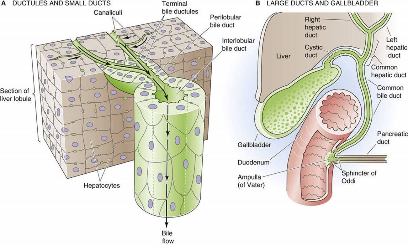 Surface Anatomy Of Liver 1398622 Togelmayafo