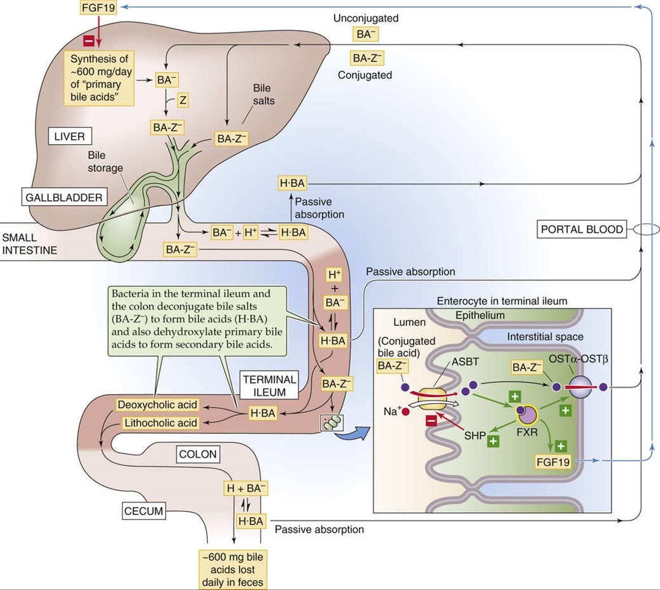 Enterohepatic Circulation Of Bile Acids Hepatobiliary Function